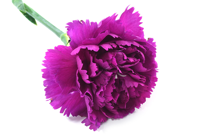 beautiful violet carnation flower on white background