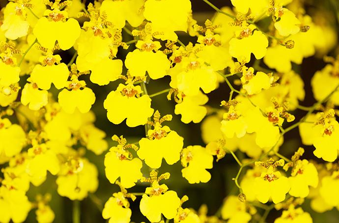 季節の花祭壇11月 オンシジューム