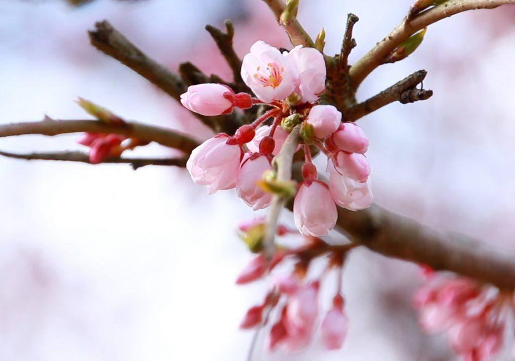 保山耕一カメラマン「奈良、時の雫」から学ぶ【桜】撮影の極意 その2
