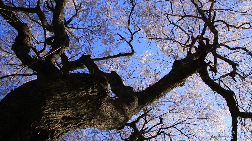 保山耕一カメラマン「奈良、時の雫」から学ぶ【桜】撮影 その4