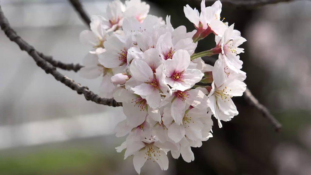 【Views】『満開!吉川 さくら通り』3分49秒~疾走感たっぷりの映像で、桜の季節の喜びがアレグロのテンポで描かれる