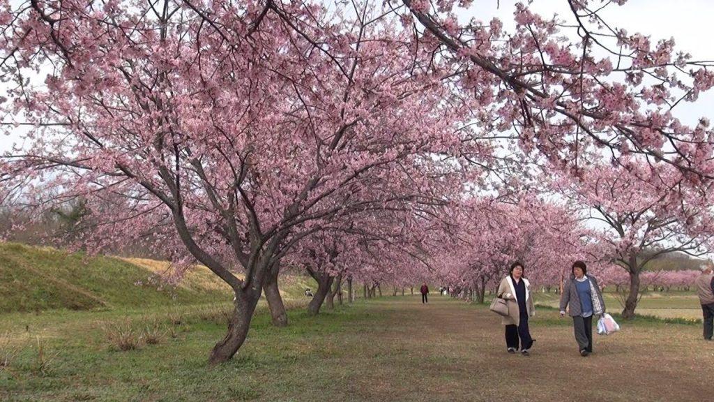 【Views】『安行寒桜』2分29秒~ゆったりとした雰囲気で満開の桜を憩う人々とともに捉えたスロー・スケッチ