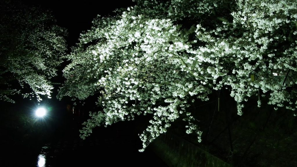 【Views】『第23回佐保川 川路桜祭り 夜桜と燈篭流し2019.4.6』3分39秒~ライトアップの光が桜にモノトーン感を与え、幻想的イメージを醸し出す