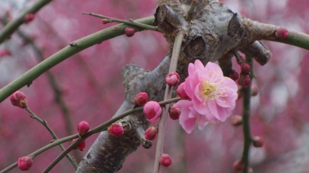 【Views】『梅の里を訪ねて』3分19秒〜梅の里からの春の便り。後半の素朴でリアルなインタビューと作者のつぶやきが作品に味を添える