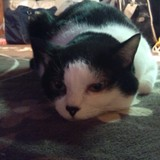 cocoa-cat