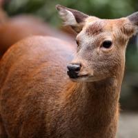 香取神宮で神鹿のお世話