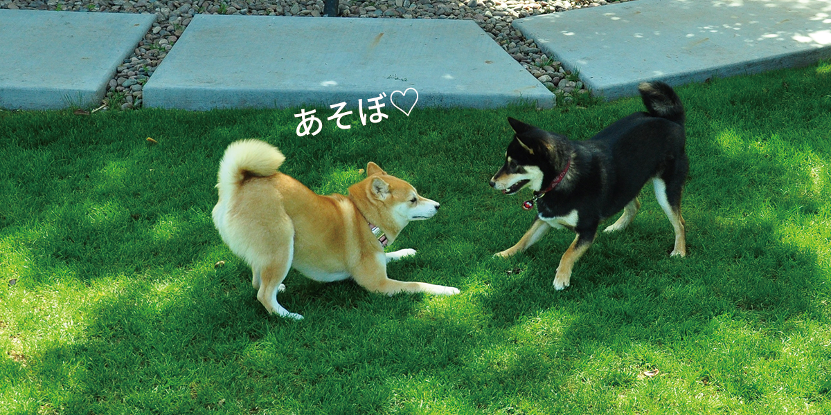 shibas play-bowing