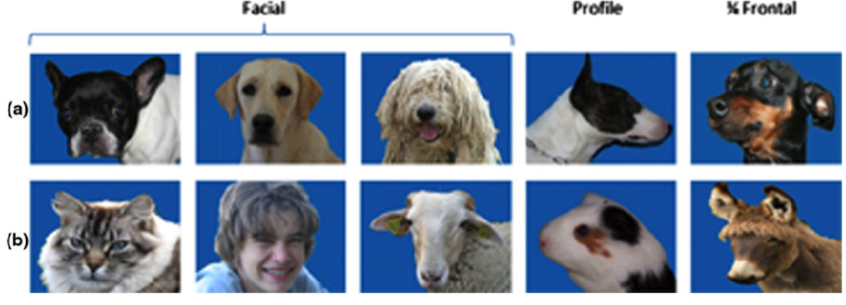 1294 Fig 2 Examples of stimuli used a Dog heads displaying the variety of dog breeds shape