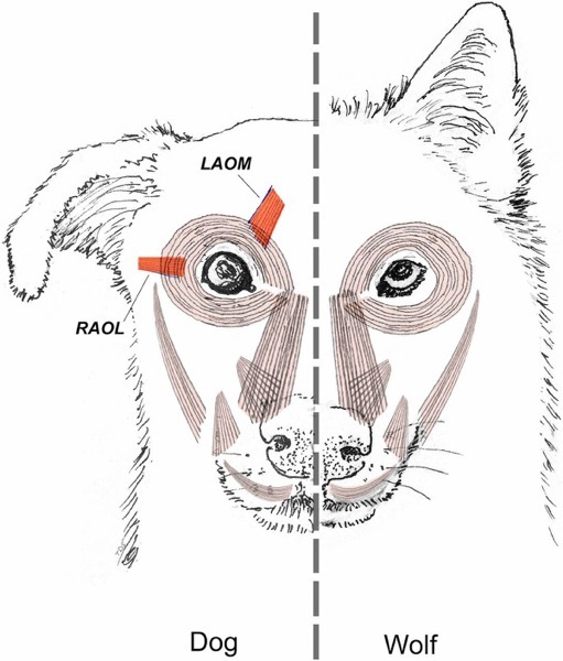 F1 Facial musculature in the wolf  dog