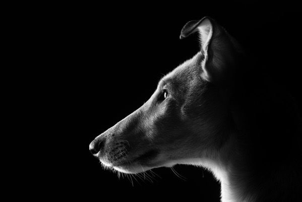 White dog black background