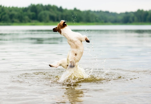 Dog jump in the water