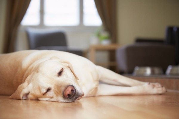 Yellow labrador lying