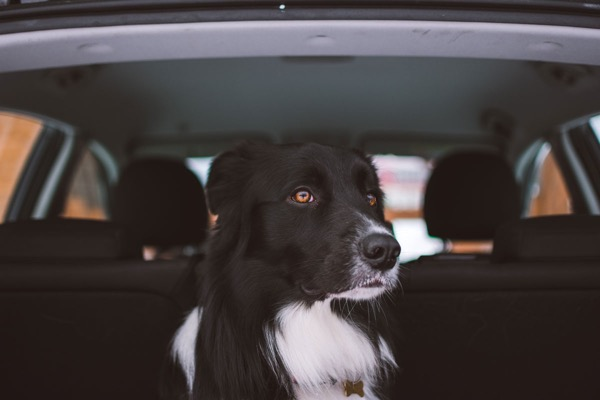 Black and white dog sitting in the car