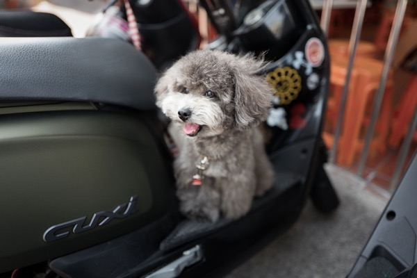 Gray tiny poodle smiling