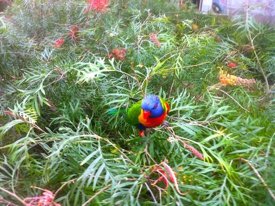オーストラリア 鳥