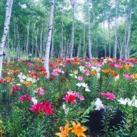 高原一面に咲く花畑と森の中のユリ畑。八ヶ岳・富士見高原「花の里」へ行ってきました!の画像