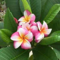 甘く優しい香りと可憐な姿が魅力の、南国の花・プルメリアの画像