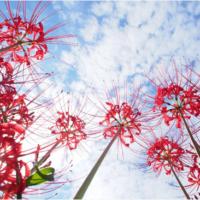 お彼岸の今が見頃の「ヒガンバナ」は、1000個の別名を持つ謎多き花!の画像