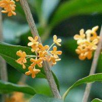 秋の散歩道で花のいい香りを感じたら、それは「キンモクセイ」かも!?の画像