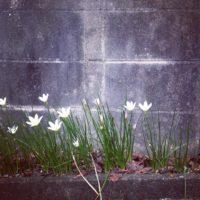 別名は雪中花。冬の花壇を彩る水仙の育て方を紹介します。の画像
