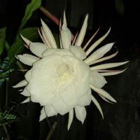 神秘的な魅力をもつ月下美人という花についてご紹介!の画像