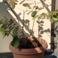 水やり、肥料など、ブルーベリーの育て方まとめ!の画像