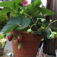 いちごに花を咲かせて実を収穫してみよう!の画像