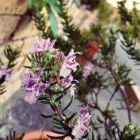 初めてのハーブ生活!ローズマリーの花を咲かせよう!の画像