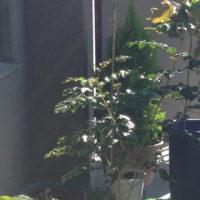 シマトネリコの花で夏満喫!の画像