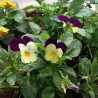 色鮮やかな花のビオラの育て方をご紹介!の画像