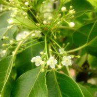 小さな花と実を実らせるソヨゴの秘密とは?の画像