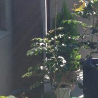 シマトネリコの肥料の植え替えと育て方!の画像