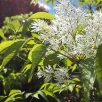 綺麗なアオダモの花をご紹介の画像