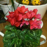 綺麗なシクラメンを咲かせるための肥料のあげ方の画像