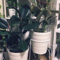 肥料は必要?ゴムの木の育て方!の画像
