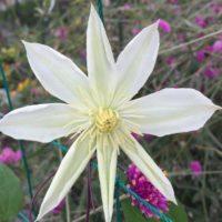 クレマチスの花を咲かせよう!育て方をご紹介!の画像