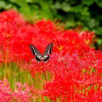 秋の花として知られるヒガンバナ!その魅力に迫るの画像