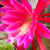 ピンクや白の花が美しいシャコバサボテンの育て方の画像