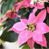 ピンク色のプリンセチアも人気! クリスマスに定番のポインセチアを楽しもうの画像