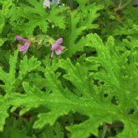 薔薇の花のような香りのローズゼラニウムを育ててみよう!の画像