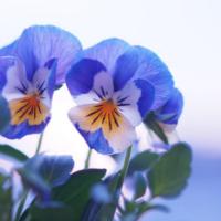 冬だってガーデニングを楽しもう! 12月の寄せ植えにおすすめの花8選の画像