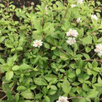 ヒメイワダレソウを育ててきれいな花を咲かせよう!の画像