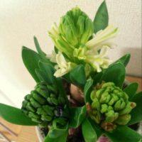 春の訪れを知らせるヒヤシンス!肥料を使って元気な花を咲かそう!の画像