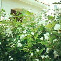 白と黄色の花が特徴!モッコウバラについての画像