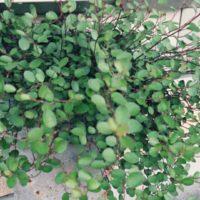 ワイヤープランツなど、フェンスにおすすめの植物をご紹介!の画像