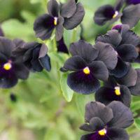 黒い花は不思議と人を魅了する!? 深い色味とシックな印象の黒色植物9選の画像