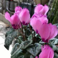 葉と花のバランスがとても良い!ガーデンシクラメンの画像