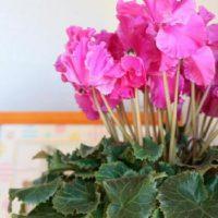 ガーデンツールを使ってシクラメンを育てよう!の画像