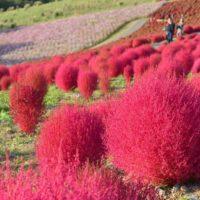 コキアと棚や植物を組み合わせて庭を飾ろう!の画像