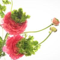 花との出合いは一期一会。ちょっぴり珍しい、魅惑のラナンキュラス9選の画像